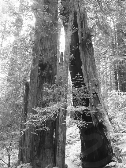 Redwood Forest California photo