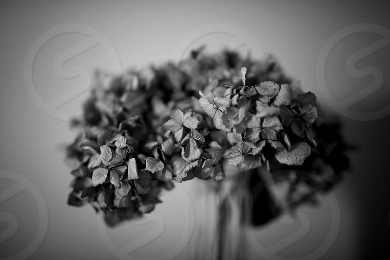 Flowers Hydrangea Hydrangea Flower Dead Flowers Black and White Black and White Flowers Flowers In Vase photo