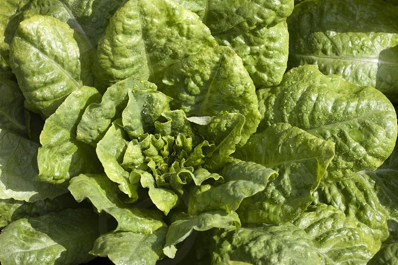 organic lettuce growing in a vegetable garden photo