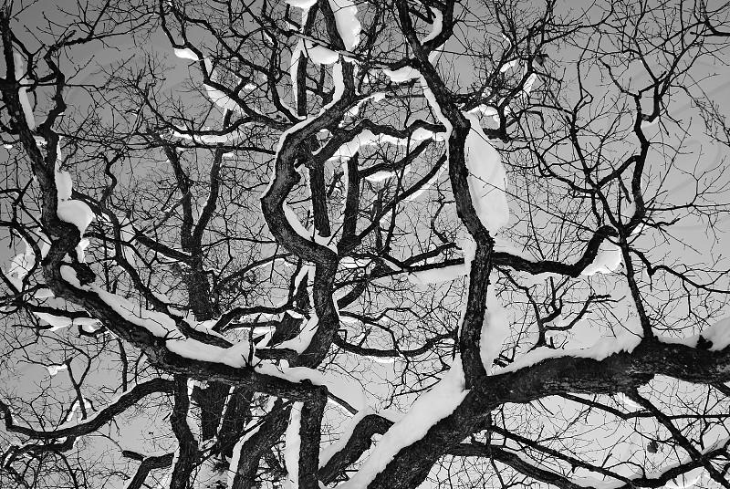 Tree with Snow photo