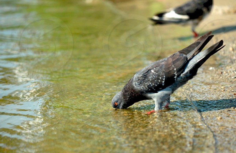 black and gray pigeon on body of water photo