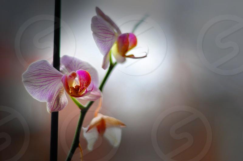Phalaenopsis Orchidaceae photo