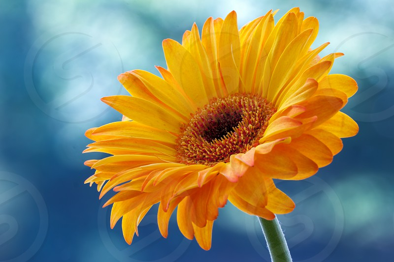 Single Golden Gerbera flower in full bloom photo