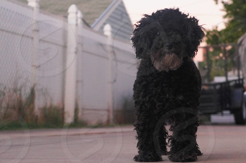 black standard poodle standing photo
