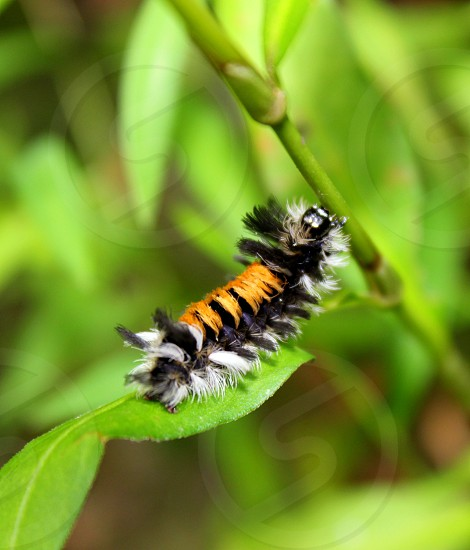 Fluffy Caterpillar  photo