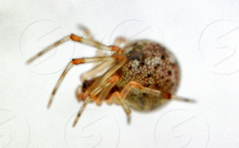brown and orange cobweb spider photo