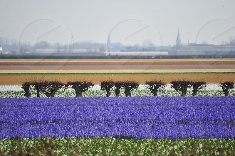 lavender flower field with trees and tulips field in the distance photo