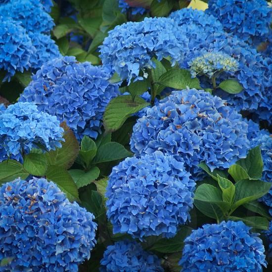 Blue • flower • bush photo