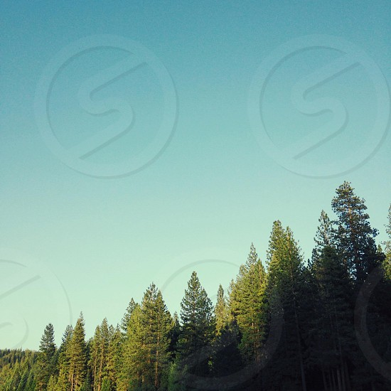green pine trees under blue sky photo