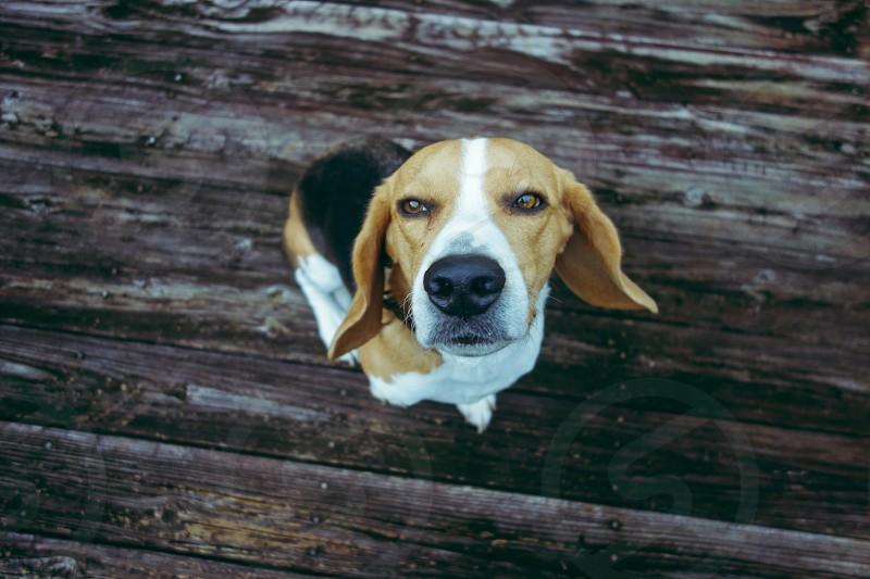 Beagle dog on brown wood photo