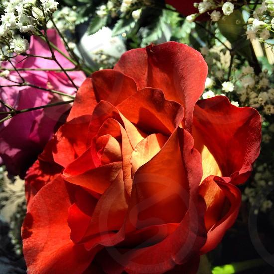 red bloom rose flower photo