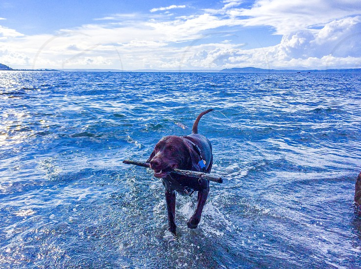 Swimming fetching chocolate lab photo