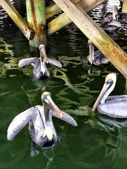 pelicans under the dock photo
