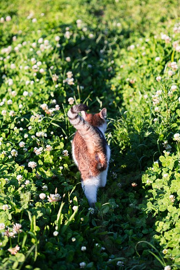 Rear view of cat walking through grass in the garden photo