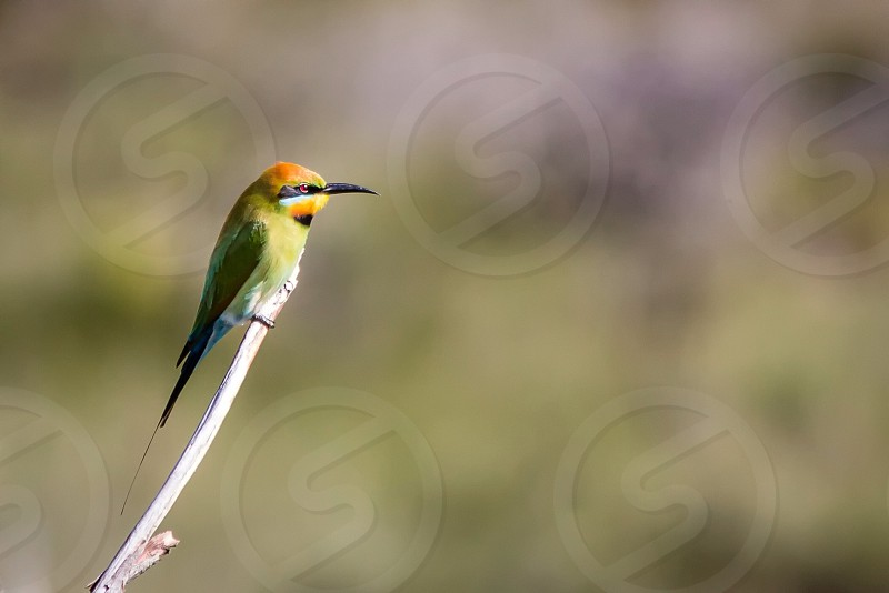 Rainbow Bee-eater colour color nature wildlife  photo