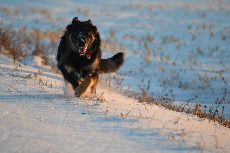 Chasing Sunshine Afternoon Light Alberta Winter Rescue Dog Happy Dog Running Country Road photo