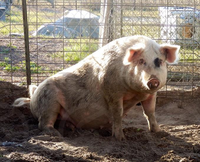 Charlotte the pig! photo