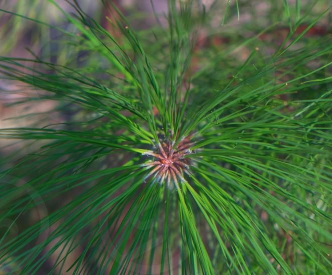 Pine Needles Easton MD photo