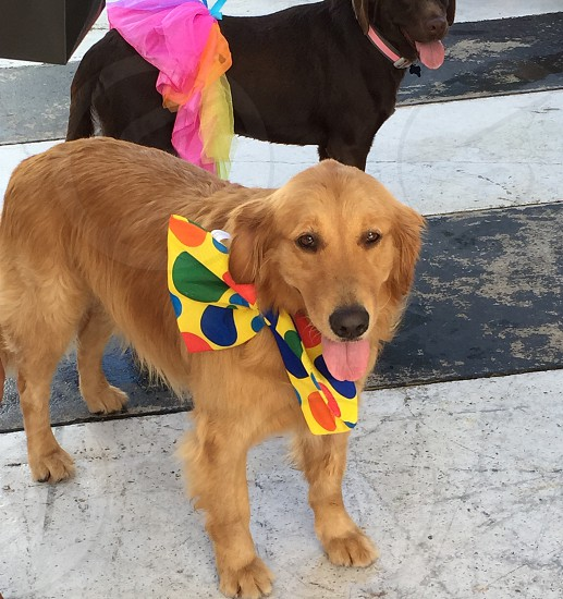 brown golden retriever next to black short coated dog photo