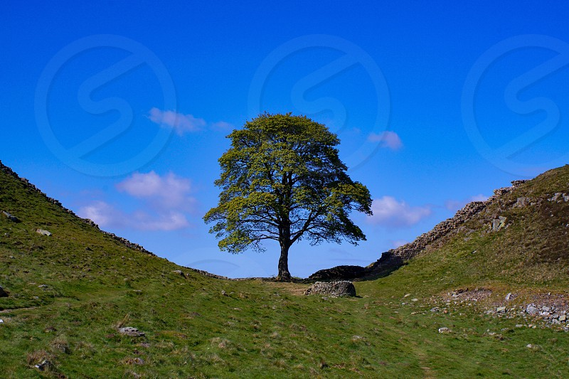 Sycamore gap tree in its full glory on blue sky Hadrian's wall North East England  photo