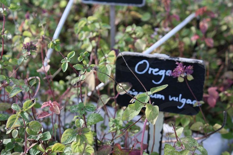 oregano plants with sign photo