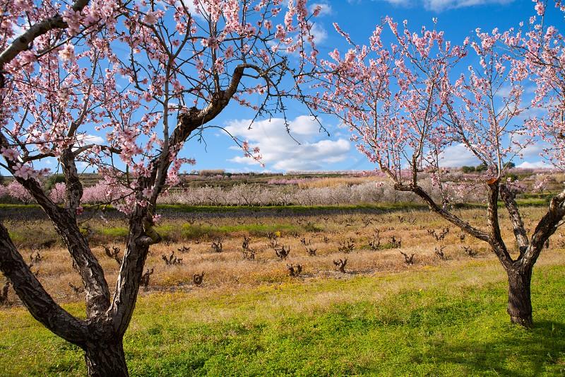 Denia Javea in spring with almond tree flowers Alicante Spain photo