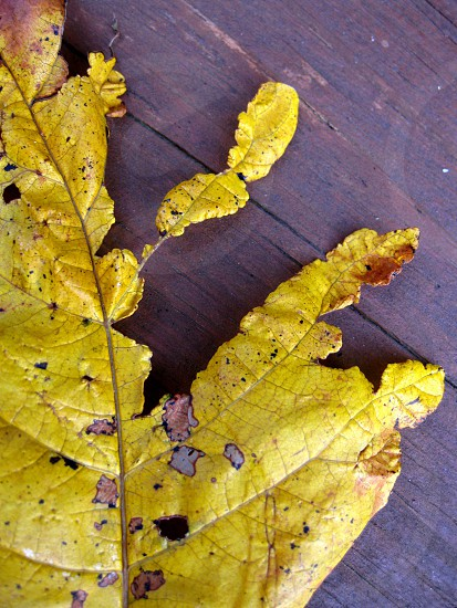 Fall leaf in a backyard in Virginia photo