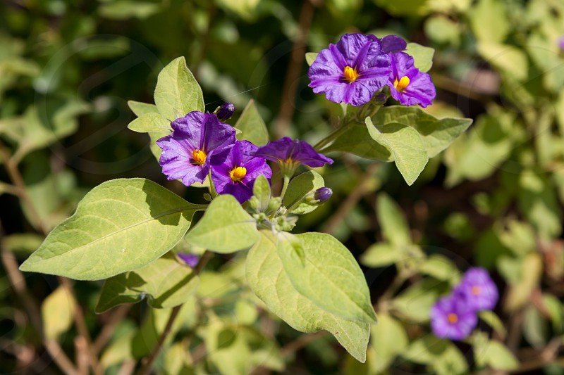 Solano Bush (Solanum rantonnetii) Flowering in Cyprus photo