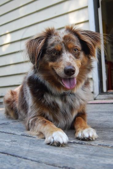 brown and grey long haired medium dog photo