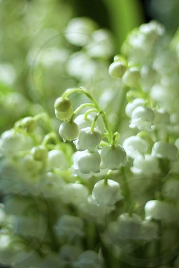 Closeup of lily of the valley blossoms in sunlight photo