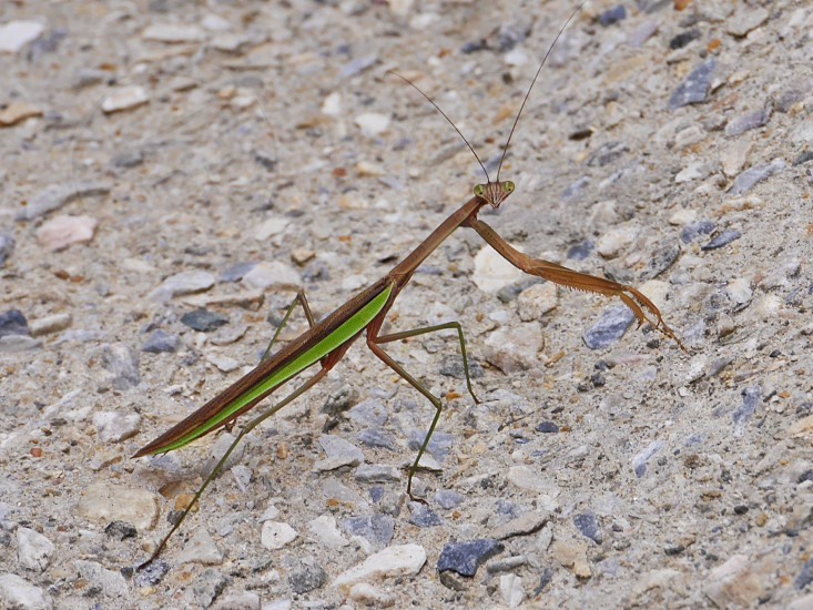 Praying Mantis looking at camera photo