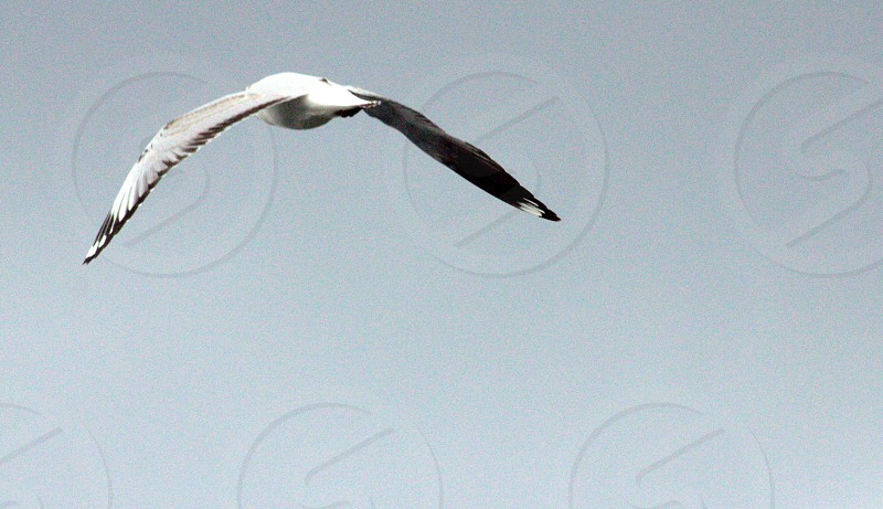 white and black seagull flying photo