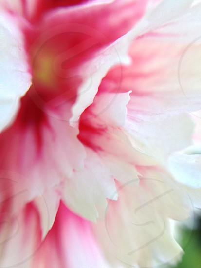 pink and white flower in macro tilt shift lens photo