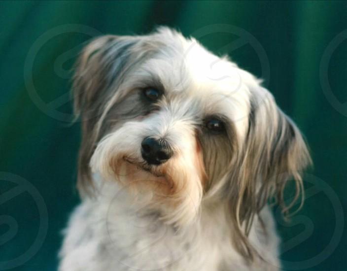 Dog furry friend Maltese Chihuahua  photo