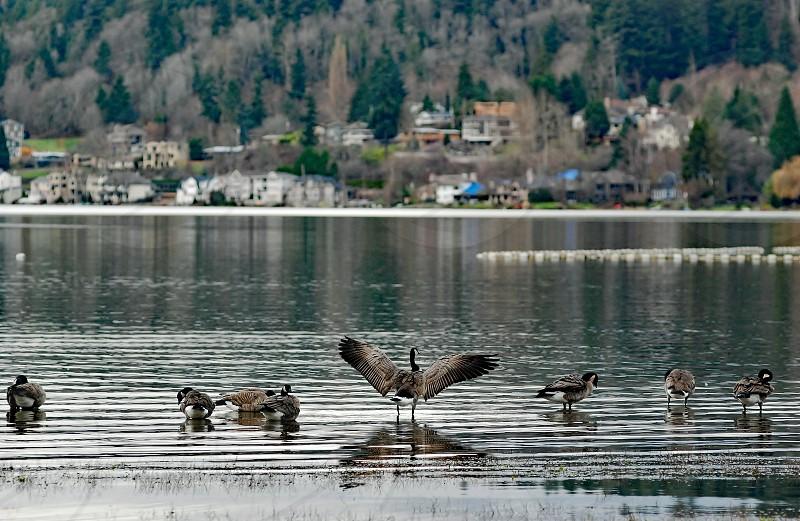bird nature water goose photo