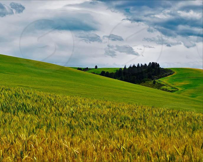 Rolling wheat fields near Walla Walla WA  photo