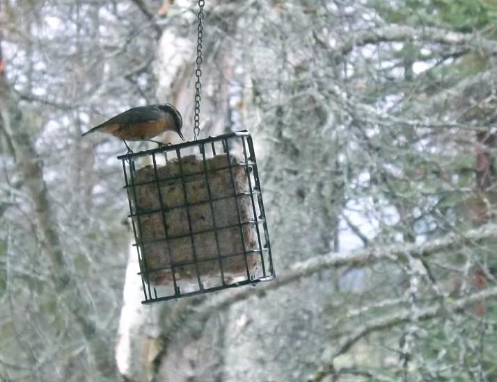 Winter scene; bird feeding on suet photo