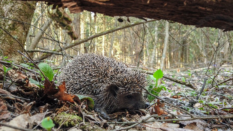 Hedgehog in the wild in the forest photo