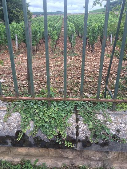 Rocky soil in the Burgundy region of France  photo