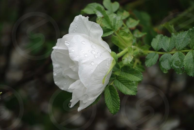 Raindrops on the rose and the rosebush photo