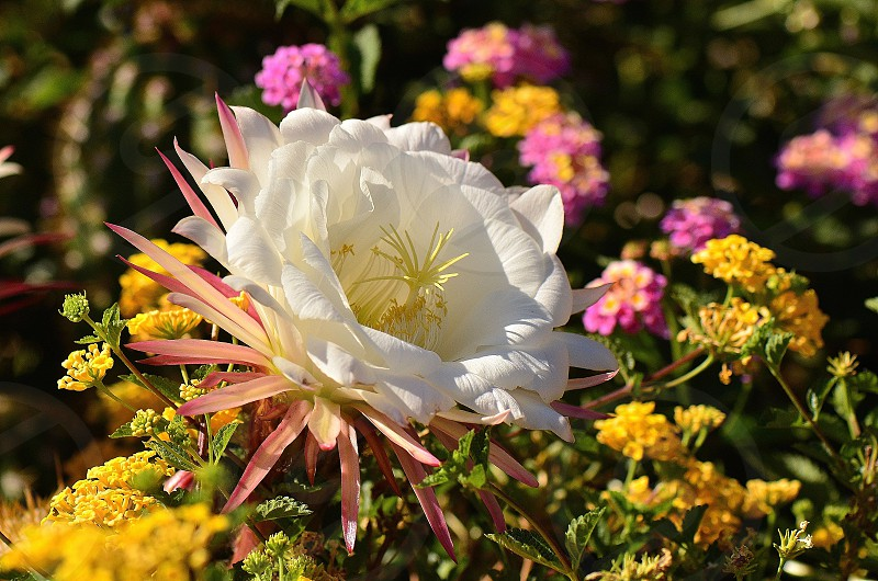 The Queen Of Garden-Argentine Giant Cactus Flower. photo