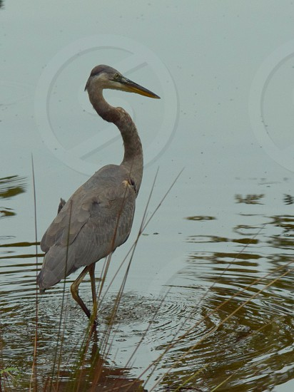 Great Blue Heron fishing in pond photo