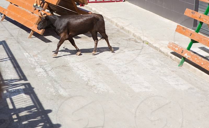 Bull at street traditional fest in Spain running of the bulls photo