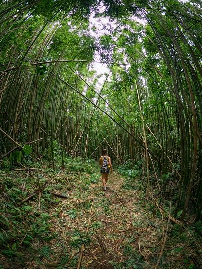 Bamboo forest walk Hawaii  photo