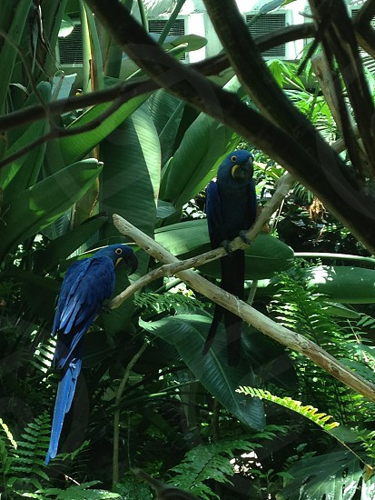 Blue parrots in the leaves photo