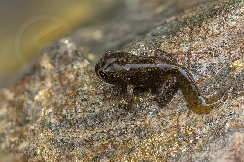 Second stage of transformation of a tadpoles one of his(her) first breath out of water. Now this beauty is almost frog or probably toad and between a few days the transformation will be complete! Wide of image is about 3cm. photo