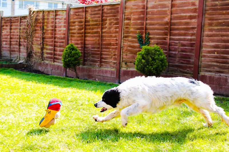 Biscuit playing chase. Collie spaniel cross photo