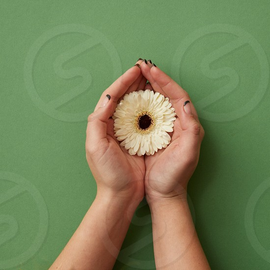 One white gerbera flower in the hands of a woman on a green paper background as a concept for a postcard on March 8. Flat lay photo