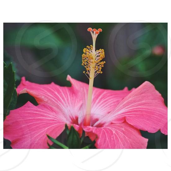 hibiscus flower macro photography photo