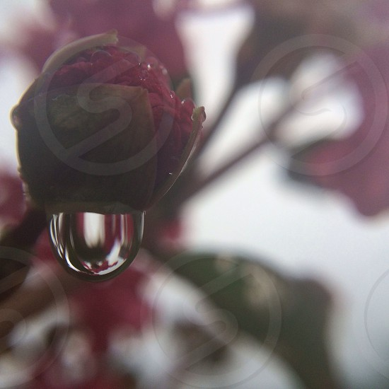 red flower with water droplet macro photography photo